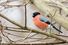 """You can't beat a bit of Bully."" (DavidHowarthUK) Tags: oldmoor southyorkshire rspb march 2018 bullfinch pyrrhulapyrrhula bird tree"