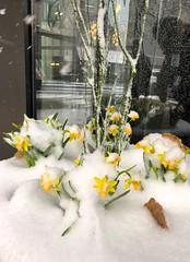 April Fools - Dream (-SOLO--) Tags: dream snow flower sping flickrfriday 7dwf freetheme springflower20172018 smileonsaturday