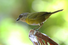 A87A7136 Common Chlorospingus (Common bush tanager) (steve.ray50) Tags: 2018 lapazwaterfallgardens vostarica