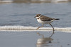 Common ringed plover (Charadrius hiaticula) Bontbekplevier (Ron Winkler nature) Tags: common ringed plover charadriushiaticula charadrius hiaticula bontbekplevier bird birds birding birdwatching birdwatcher nature wildlife nederland netherlands europe canon 100400ii