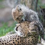 Cheetah cub playing with mom thumbnail