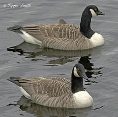 Canada Geese (wok smuggler) Tags: geese canadageese bird pair water wildlife nature wildbird waterfowl sigma150500 nikond7100 brantacanadensis