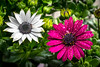 Let the spring come (hboudeling) Tags: osteospermum spaansemargriet africandaisy white purple
