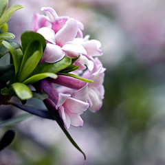 daphne-- Happy Easter! (1crzqbn) Tags: pink daphne 13522018 bokeh dof dephoffield blur