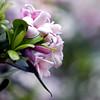 daphne-- Happy Easter! (1crzqbn) Tags: pink daphne 13522018 bokeh dof dephoffield blur