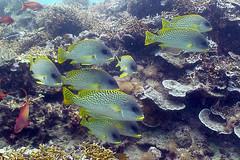 Sweetlips, Chole Bay, Mafia Islands, Tanzania (jd1001) Tags: reeffish sweetlips scubadiving underwater mafiaisland tanzania march 2018 sealifecamera dc1400