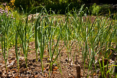 My Garlic Bed (LongInt57) Tags: garlic garden plants allium growing kelowna bc canada okanagan green brown soil