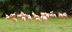 Jardin des Plantes: Ménagerie: flamingoes (John Steedman) Tags: jardindesplantes フランス france frankreich frankrijk francia parigi parijs 法国 パリ 巴黎 ménagerie flamingoes