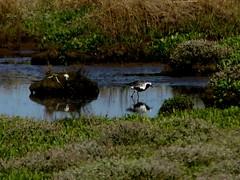 distant record Grey Plover 19.5.18 (ericy202) Tags: distant record shot greyplover summerplumage thornhammarsh westbankpath titchwellrspb