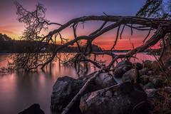 Old Tree Sunset (Jens Haggren) Tags: sunset aftersunset oldtree tree sky colours water rocks le longexposure olympus em1 nacka sweden jenshaggren