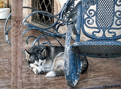 Do not disturb (Jean S..) Tags: animal dog balcony outdoors blue chairs