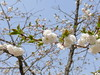 18o7909 (kimagurenote) Tags: 桜 sakura cherry flower prunus cerasus 多摩森林科学園 tamaforestsciencegarden 東京都八王子市 hachiojitokyo