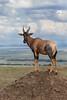 Topi Surveying the Scene (Ian Locock Photography) Tags: 2017 kenya masaimara topi zebraplains