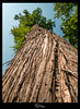 Sumpfzypresse (Blende18.2) Tags: wald baum forest tree sumpfzypresse sumpf zypresse swamp borke natur nature