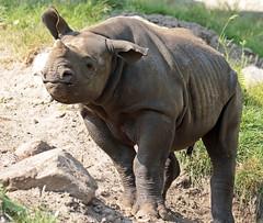 Black Rhino Mara Blijdorp BB2A9464 (j.a.kok) Tags: rhino rhinoceros blackrhinoceros blackrhino babyneushoorn neushoorn mara animal africa afrika zwarteneushoorn blijdorp mammal zoogdier dier herbivore