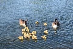 DSC_2303 Hyde Park London The Serpentine Lake Wildlife Birds Canadian Geese and Goslings (photographer695) Tags: hyde park london the serpentine lake wildlife birds royal swans cygnets canadian geese goslings