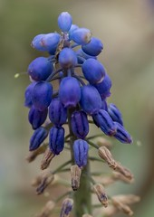 Grape Hyacinths plant (billcoo) Tags: xf80mm fujifilm garden bokeh macro plant flowers bud muscari