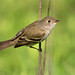 Willow Flycatcher-Harford Co., MD 5/26/18 (mj3151) Tags: