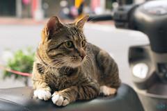 檳榔攤養的貓 (迷惘的人生) Tags: 台北 台北市 台灣 tw canon 5d3 5dⅲ 50mm 50l cat 寧夏夜市 貓