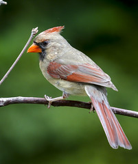 Female Cardinal (Yer Photo Xpression) Tags: ronmayhew canoneos70d northerncardinal female red bird speedlight