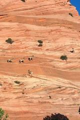 Five sheep on a wall (Chief Bwana) Tags: az arizona pariaplateau vermilioncliffs navajosandstone bighorn bighornsheep bighornram wildlife psa104 chiefbwana