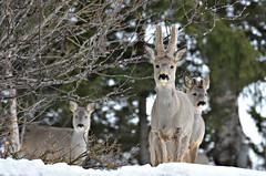 """ hørte vi matklokka? ""......... (KvikneFoto) Tags: rådyr roedeer natur norge hedmark kvikne tamron bokeh nikon vinter winter snø snow"