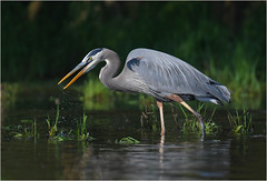 Great Blue Heron (nomoredarkroom) Tags: greatblueheron pennsylvania nikon