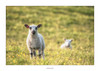 Near and far (AnthonyCNeill) Tags: sheep lamb