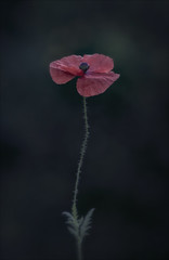 The very first garden poppy (Funchye) Tags: poppy valmue flower blomst nikon d610 105mm