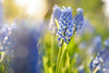 Pullerdoverforthis (martijnvdnat) Tags: beautyinnature blue flowerhead greencolor hyacinthaceae muscaribotryoides nopeople summer bulbous closeup field flower freshness grapehyacinth grass macro meadow nature outdoors plant purple season spring springtime leiderdorp zuidholland nederland