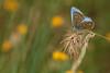 Argus bleu ( UNIXetvous ) Tags: bokeh papillon butterfly flower argusbleu canoneos5dmark3