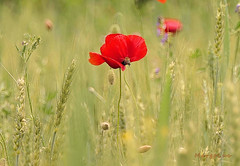 In The Meadow ... (MargoLuc) Tags: poppies meadow spring colours red flowers grass green bee wildflowers bokeh sunlight sunny day