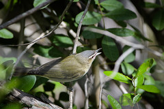 Fort De Soto Park Red-eyed Vireo 04-16-2018 (Jerry's Wild Life) Tags: florida fortdesoto fortdesotopark ftdesoto ftdesotopark pinellascounty pinellascountypark revi redeyed redeyedvireo songbird songbirds vireo vireoolivaceus