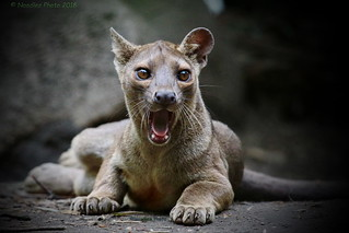 young Fossa - junger Fossa (in explore 11.04.2018)