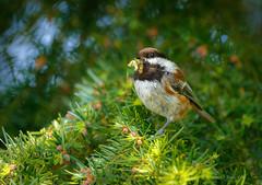 FOOD FOR BABIES (Sandy Hill :-)) Tags: chickadees birds chestnutbackedchickadees feathers feeding babies firtrees springtime spring birdsofthepacificnorthwest birdsofvancouverisland birdsofbc birdsofcanada birdsofnorthamerica perchingbirds sandyhillphotography