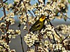 Cape-May Warbler (clickclique) Tags: bird flowers spring warbler capemaywarbler yellow brown stripes tree outdoors nature naturescarousel ngc