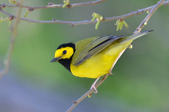 Hooded Warbler (stephaniepluscht) Tags: alabama 2018 migration spring fort morgan state historic stie hooded warbler