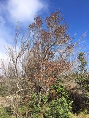 Metrosideros polymorpha showing symptoms of Rapid 'Ōhi'a Death (J. B. Friday) Tags: hawaiivolcanoesnationalpark rapidohiadeath metrosideros metrosiderospolymorpha ceratocystis