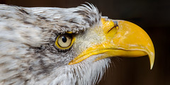 Bald eagle closeup (Maryna K.) Tags: animal birds baldeagle eagle animalplanet wildlifepark vogel weiskopfseeadler