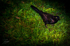 Black Wild (Randy • R) Tags: birds color ilce6000 nc northcarolina pov randall sony spring summer us usa unitedstates a6000 adult alpha amazing animal avian background beak beaks beautiful bird black clear colorful colors common dark day daylight down elegant environment eye eyes fauna feather feathered full grackle grass green ground image interesting lawn look lovers natural nature nice one ornithology outdoor outdoors outside photo photographer photography pic picture plumage pointofview pretty purple reflection single weeds wild wildlife wings yellow winstonsalem