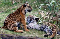 Lethally Cute (Ger Bosma) Tags: 2mg94122 pantheratigrissumatrae sumatrantiger tiger predator feline large tropical bigcat animal mammal carnivore carnivorous closeup head twins tigers cub cubs kittens kiteen whelps