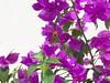 DSC06823 (familiapratta) Tags: sony dschx100v hx100v iso100 natureza flor flores nature flower flowers