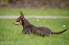 Chien de garde. (Philippe Bélaz) Tags: nestor pragois ratierdeprague animal animaux animauxdecompagnie chien famille portraitsanimalier printemps