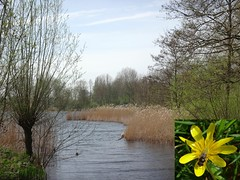 Spring on the Ground. Lesser Celandine, Ficaria verna, and a Hoverfly, Gaasperplas, Amsterdam, The Netherlands (Rana Pipiens) Tags: hoverfly cheilosiasp lessercelandine ficariaverna gaasperplasamsterdamthenetherlands insects flowers yellow lake landscape scenery water scenics