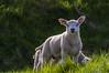 I want to be a photo model (Marco van Beek) Tags: holland europe beautiful world nikon d5000 afs dx nikkor 18200mm f3556g ed vr ii lamb nature