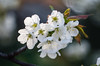 čerešnička (jbmnt) Tags: nikon d3200 flower bloom helios 442 old lens