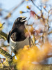 Magpie (iantaylor19) Tags: british birds magpie warwickshire wildlife canon 80d sigma 150600