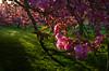 L'heure rosée. (renécarrère) Tags: sakura cerisiersdujapon hanami parcdesceaux printemps