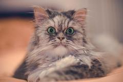 A cute Persian cat (Vagelis Pikoulas) Tags: cat cats pet animal canon 6d sigma 85mm art f14 portrait animals eyes green hair bokeh blur