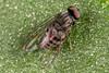 Female Lindneromyia (zosterops) Tags: australia tasmania hobart canoneos6d canonmacrolensmpe65 macro insecta diptera platypezidae